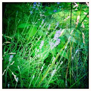 The lavender is in bloom! Must save a little for tea and fill a vase.
