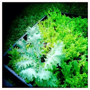 Lettuce, and some kale volunteering from my fall garden. I think I'll throw the kale in our dinner tonight! We've been eating the lettuce sometimes twice a day, every day for a few weeks now. So tasty and tender/crisp.